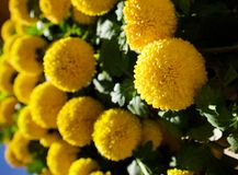 Yellow spirit natural flowers. In Da Lat, Vietnam stock image