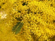 Yellow splendid mimosa. And leaf on tree Stock Photo