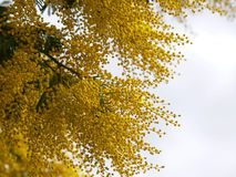Yellow splendid mimosa. On tree Royalty Free Stock Photo