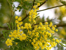 Yellow splendid mimosa. On tree Stock Images