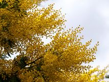 Yellow splendid mimosa on tree. In a cloudy day Royalty Free Stock Image