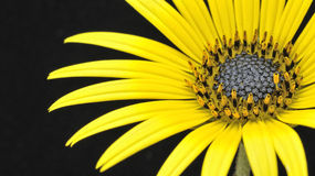 Yellow splendor. Calendula Arcthoteca isolated on black background, an invasive plant Royalty Free Stock Photography
