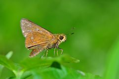 Yellow spot swift butterfly. Of thailand background Stock Image