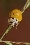 Yellow, spotless ladybird Stock Image