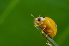 Yellow, spotless ladybird Royalty Free Stock Image