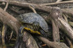 Amazon yellow spotted side neck turtle Royalty Free Stock Image