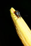 Yellow spotted black beetle Royalty Free Stock Photo