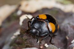 Yellow spotted black fungus beetle Stock Images