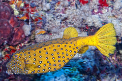 Yellow spotted Box fish underwater portrait Royalty Free Stock Photos