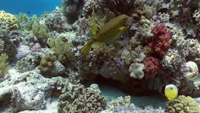 Yellow spotted boxfish on reef in search of food. Yellow spotted boxfish on coral reef in search of food on sandy bottom. Amazing, beautiful underwater marine stock footage