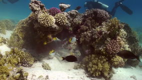 Yellow spotted boxfish on reef in search of food. Yellow spotted boxfish on coral reef in search of food on sandy bottom. Amazing, beautiful underwater marine stock video