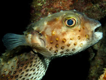 Yellow spotted burrfish Stock Images