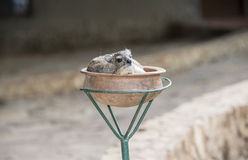 Yellow-spotted Bush-Hyrax Heterohyrax brucei Resting in a Pot Stock Photos