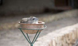 Yellow-spotted Bush-Hyrax Heterohyrax brucei Resting in a Pot Stock Images