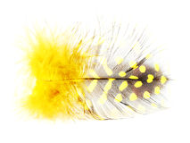 Yellow spotted feather on white Stock Image