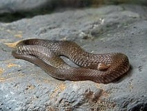 Yellow-Spotted Keelback Coiled on The Rock Royalty Free Stock Image