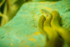 Yellow-spotted keelback snake (Xenochrophis sanctijohanis). Xeno. Chrophis is a genus of colubrid snakes endemic to Asia. They are commonly referred to as Royalty Free Stock Photo
