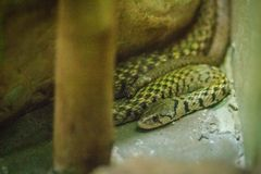 Yellow-spotted keelback snake (Xenochrophis sanctijohanis). Xeno. Chrophis is a genus of colubrid snakes endemic to Asia. They are commonly referred to as Stock Photography