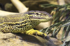 Yellow-spotted monitor Royalty Free Stock Images