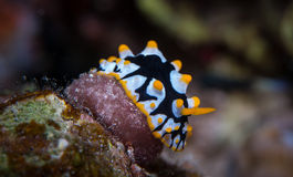 Yellow spotted Nudibranch royalty free stock photos