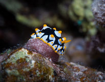 Yellow spotted Nudibranch Royalty Free Stock Image