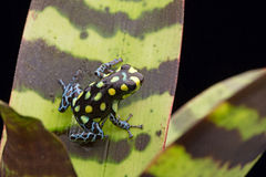 Yellow spotted poison dart frog Stock Photo
