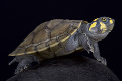 Yellow-spotted river turtle,Podocnemis unifilis. The yellow-spotted river turtle,Podocnemis unifilis, is an beautiful aquatic reptile species found in Brazil Royalty Free Stock Photos