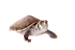 Yellow-spotted River Turtle, on white Royalty Free Stock Photo