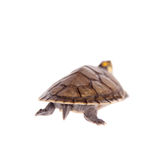 Yellow-spotted River Turtle, on white Stock Images