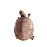Yellow-spotted River Turtle, on white Stock Photography