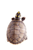 Yellow-spotted River Turtle, on white Royalty Free Stock Images