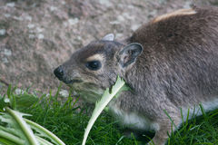 Yellow-spotted rock hyrax eating Stock Photo