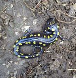 Yellow Spotted Salamander. Salamander spotted under old log Stock Images
