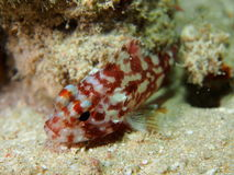 Yellow spotted Scorpionfish Red Sea Royalty Free Stock Photos