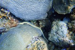 Yellow spotted seasnake eel swimming through the coral at the bottom of the ocean stock photos