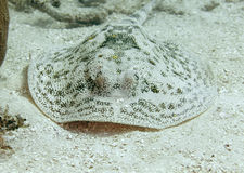 Yellow spotted stingray, utila,honduras manta ray Stock Image