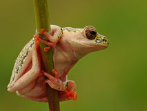 Yellow spotted tree frog. Rare green tree frog spotted hanging onto a reed at the edge of a dam Stock Image