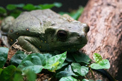 Yellow Spotted Tree Toad Stock Photography