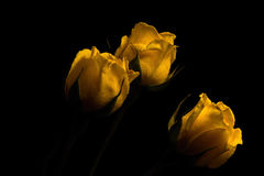 The Yellow Spray Roses. Floral portrait of a trio of yellow spay roses on a black background Royalty Free Stock Photography
