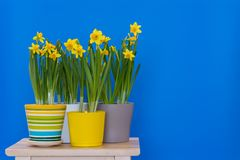 Yellow sprind potted daffodils isolated on the blue background royalty free stock photos