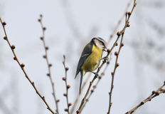 Yellow Spring Bird Royalty Free Stock Images