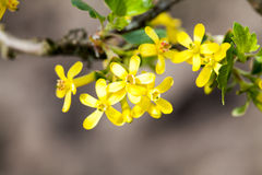 Yellow spring blossoms Royalty Free Stock Photos