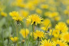 Yellow in Spring. A bounch of yellow flowers in spring time Royalty Free Stock Photos