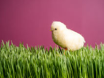 Yellow Spring Chick Royalty Free Stock Photos