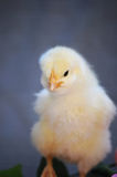 Yellow Spring Chick Stock Photo