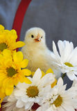 Yellow Spring Chick Stock Images