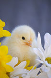 Yellow Spring Chick Stock Image