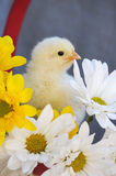 Yellow Spring Chick Stock Photography