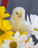 Yellow Spring Chick Stock Photos