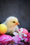 Yellow Spring Chick Royalty Free Stock Images